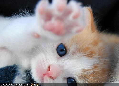 cyoot kitteh of teh day go on without me lying down paws reaching