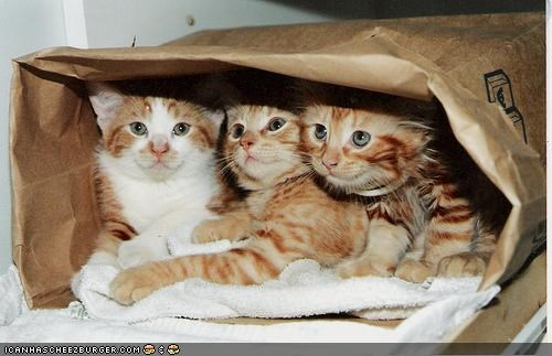 bag,bed,cyoot kitteh of teh day,orange,paper bag,three cats