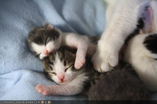 cyoot kitteh of teh day family kitten mama mom protector sleeping tiny