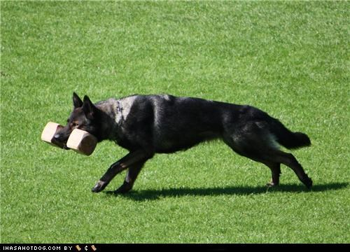 block,carry,german shepherd,goggie ob teh week,grass,mouth,run,weight