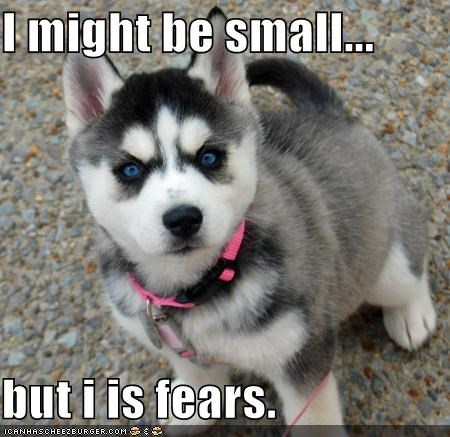 angry but caveat fierce husky puppy small warning