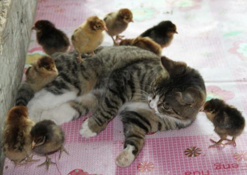 adorbz chickeh Interspecies Intermingling kitteh