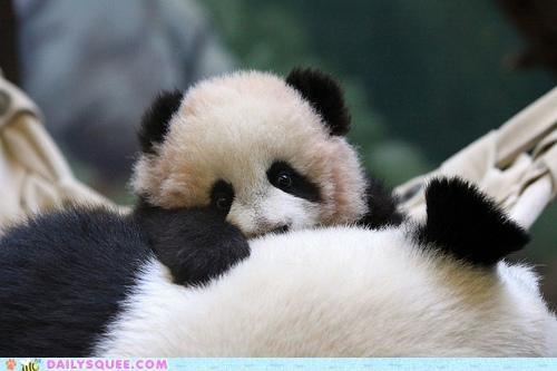 baby,cub,panda,panda bear,panda bears,peekaboo,squee spree