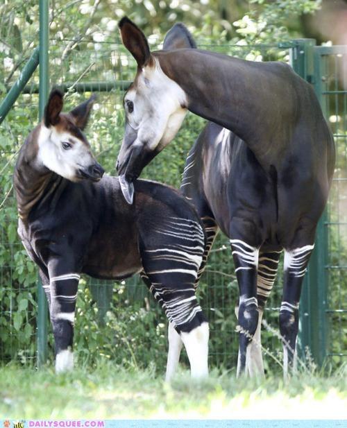 baby feature female Fun Fact hashtag male okapi okapis questionable content taller whatsit whatsit wednesday - 4796367104