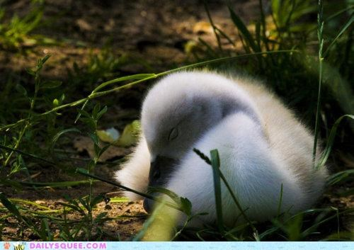 asleep baby chick dreaming dreams princess queen sleeping swan
