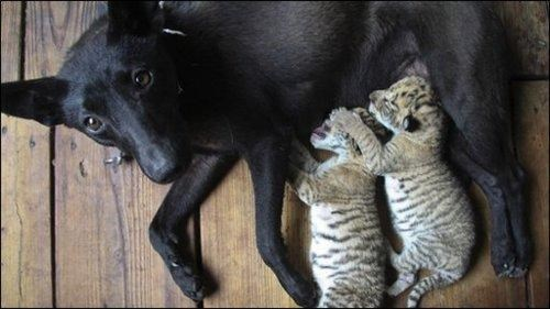 doggeh interspecies interminglin ligers - 4798852608
