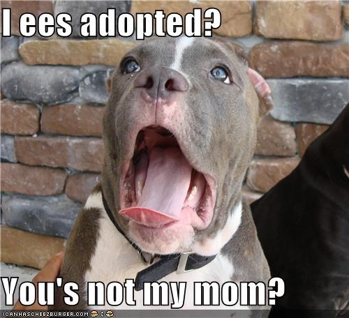 adopted disbelief pit bull pitbull question Sad shocked surprised - 4799568128