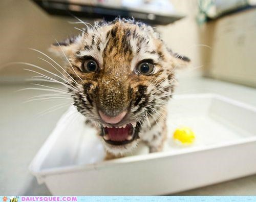 baby,bath,cold,cub,do not want,portmanteau,shocked,soggy,tiger,water,wet