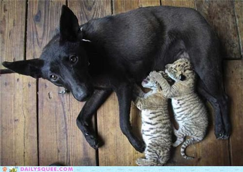 adoption awesome Babies baby cub cubs dogs feeding heartwarming liger ligers mother surrogate touching