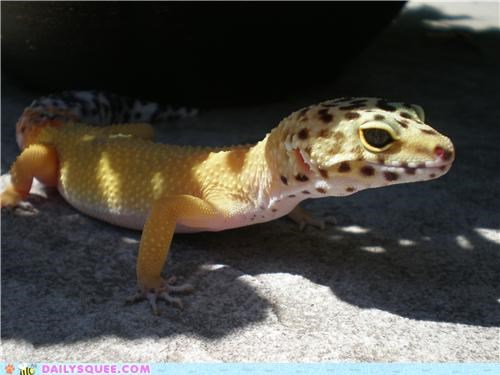 cool gecko Heat hot ICWUDT leopard gecko pun reader squees reptile warm - 4805247232