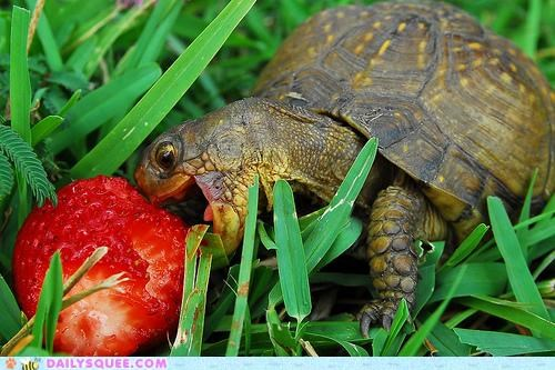 baby,blissful,do want,excited,happy,noms,strawberry,tortoise