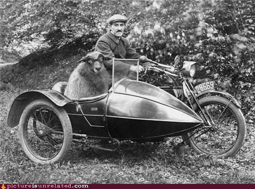 man,motorcycle,old timey,sheep,side car,wtf