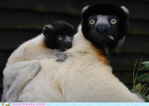baby,crowned sifaka,hypnosis,hypnotized,mother,piggyback,riding,sifaka,sifakas