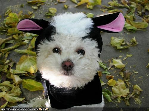 costume curly cyoot puppeh ob teh day mixedbreed poodle skunk