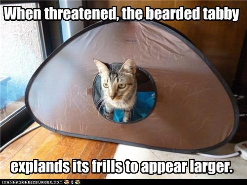 appear appearance bearded caption captioned cat condition dragon expands frills larger tabby tent threatened