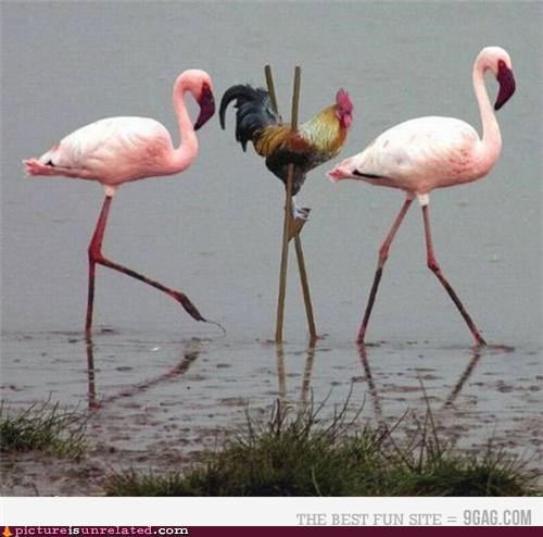 awesome,birds,chicken,flamingo,wtf