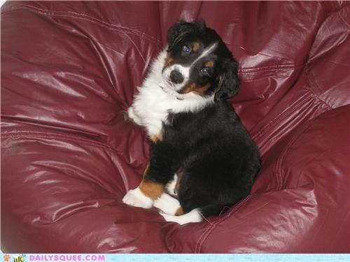 bernese mountain dog border collie dogs god of war irresistible loki mythology name puppy puppy eyes reader squees - 4817894144