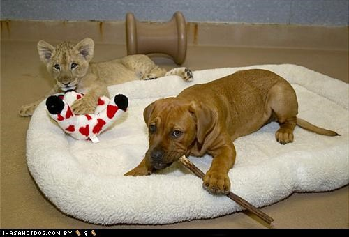 bed,chew,friends,italian mastiff,kittehs r owr friends,lion cub,play