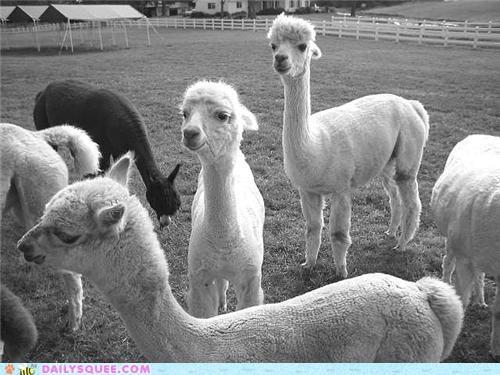 alpaca alpacas Babies baby pack pun squee spree winner winners - 4818903040