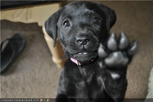 Black Lab cyoot puppeh ob teh day halt paw puppy stop - 4819823104