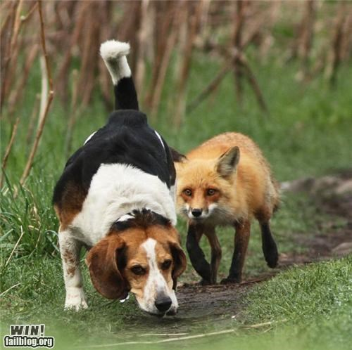 animals dogs fox Fox and the Hound IRL movies - 4819872256