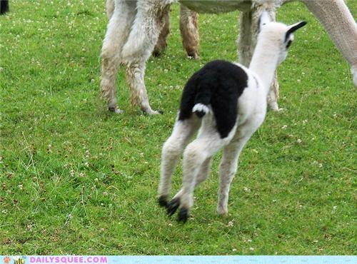 acrobatic alpaca baby dream frolicking hop jump prancing skip squee spree