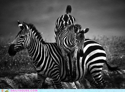 acting like animals baby bring it on calf hurdler hurdles hurdling olympics training zebra zebras - 4820639488