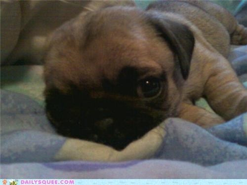 adorable baby born dogs ear one perfect pug puppy reader squees regardless sleepy tiny without - 4821087488