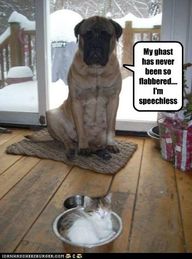 best of the week bullmastiff cat flabbergasted Hall of Fame kitten play on words shocked speechless