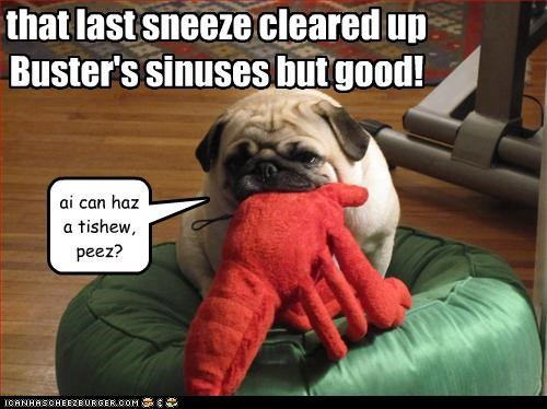 that last sneeze cleared up Buster's sinuses but good! ai can haz a tishew, peez?