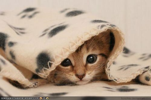 blankets,covers,cyoot kitteh of teh day,hiding,under covers,warm