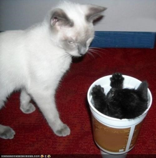 basement kittehs confused cups cyoot kitteh of teh day drinks soda two cats - 4823854848