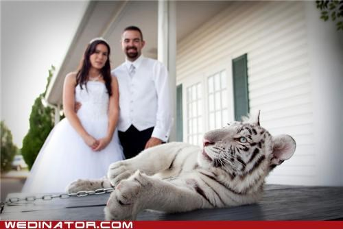 funny wedding photos photo shoot tiger - 4826043648