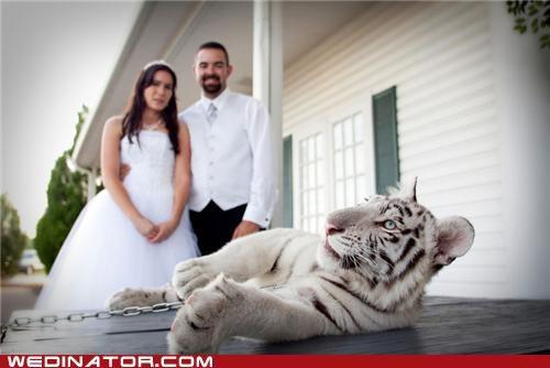 funny wedding photos photo shoot tiger - 4826043648
