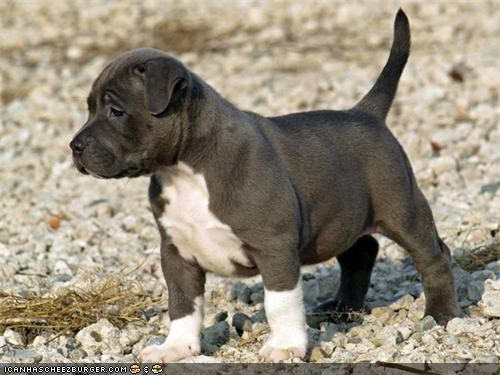 alert beach cyoot puppeh ob teh day pitbull protect puppy rocky