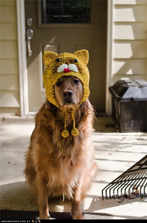 cat,costume,disguise,golden retriever,hat