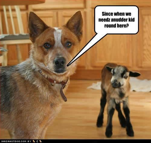 australian shepherd boston terrier goggie ob teh week great dane poll rhodesian ridgeback - 4826463488