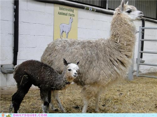 alpaca alpacas baby child end littlun loveliest lovely mother pride proud squee spree