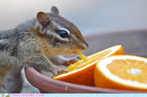 adage,advice,chipmunk,DIY,do it yourself,do want,eating,noms,orange,orange juice,oranges