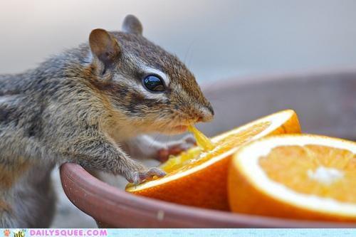 adage advice chipmunk DIY do it yourself do want eating noms orange orange juice oranges - 4826982912