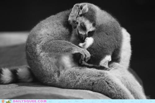 asleep Awkward baby discomfort enjoy evening lemur lemurs nap napping parent position relative sleeping uncomfortable whatever works