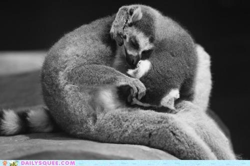 asleep Awkward baby discomfort enjoy evening lemur lemurs nap napping parent position relative sleeping uncomfortable whatever works - 4826994944