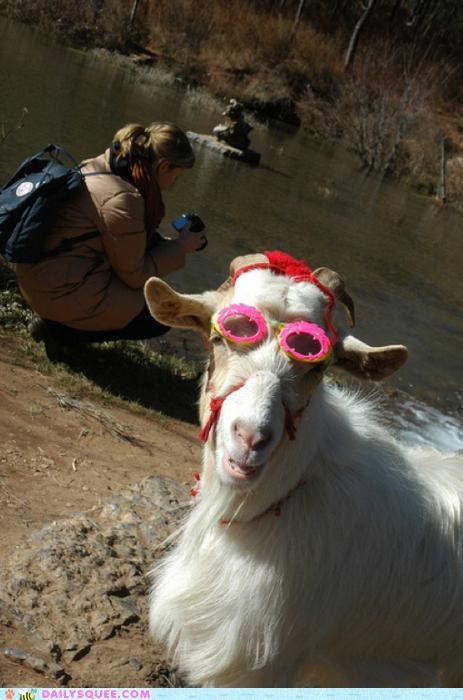 acting like animals,fabulous,fashion,fashion statement,glasses,goat,goggles,haters gonna hate,style,swagger,way of life