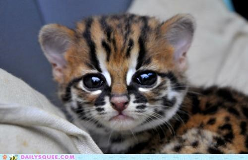 adorable ayes baby cat eyes hypnotizing pun Staring the ayes have it wild cat - 4829274368