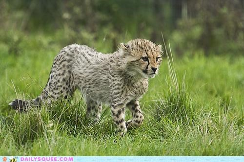 advice anxious baby cheetah cub prowling restless young - 4829446400