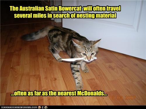 The Australian Satin Bowercat will often travel several miles in search of nesting material ...often as far as the nearest McDonalds...