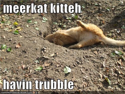 meerkat kitteh   havin trubble