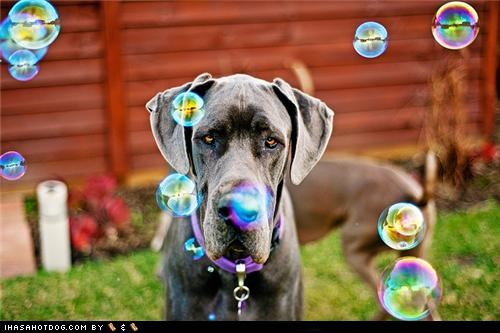 bubbles fence goggie ob teh week grass great dane not amused