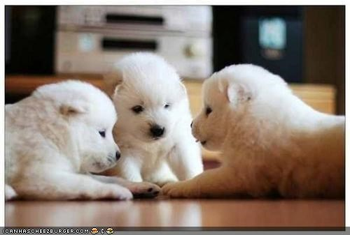 committee cyoot puppeh ob teh day meeting puppies whatbreed white - 4839726848