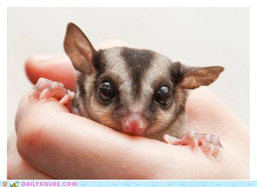 as cute as can be,baby,double meaning,hand,handful,hands,holding,pun,squee,sugar glider,tiny